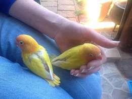 Lovebirds tame for sale