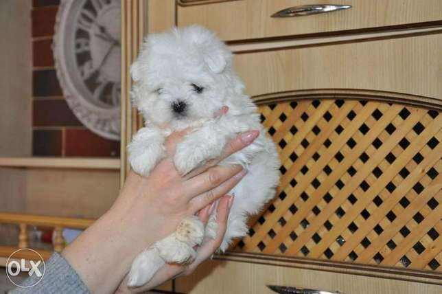 Mini Maltese Male Full Documents Imported From Ukraine perfect
