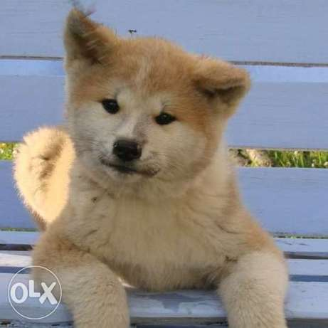 Wonderful kids are waiting for their owners !!! Akita