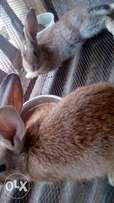 Two Giant breed rabbit for sell in Ibadan