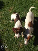 Beautiful two dogs for sale