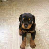Male Boxhead rottweiler puppy