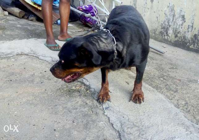 Adult female Boxhead Rottweiler for sale Jos - image 2
