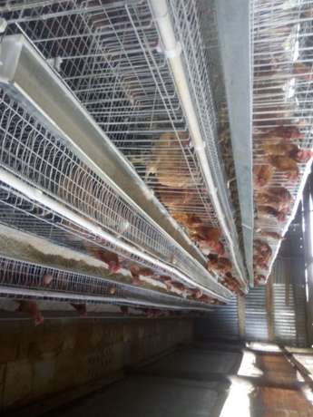 Homestead farm cages.capacity 1000 with free installation. Kasarani - image 6