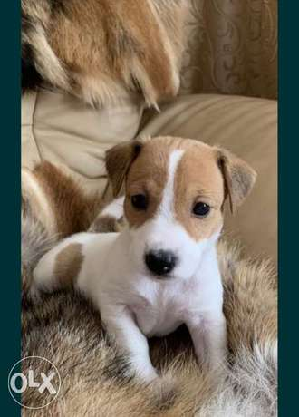 Top imported Jack Russel puppies جاك راسل