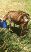 Dairy Goats Family on sale