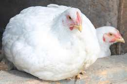 Organic Broilers; Soft Chickens