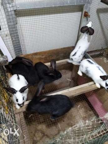Giant French papillon rabbits
