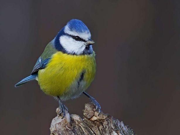 фото синица лазоревка
