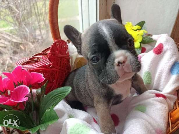 Imported French bulldog males 6 weeks full documents from Ukraine