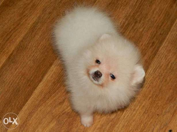 Teacup pomeranian high standards