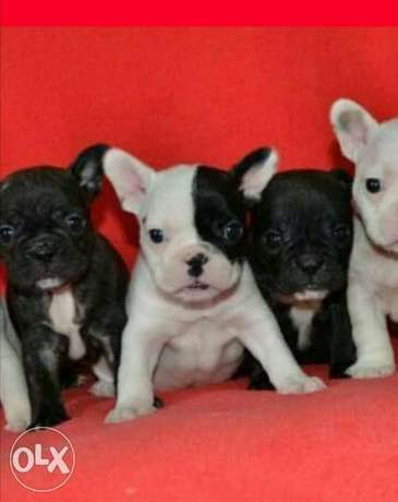 French bulldog puppies, imported with Pedigree and passport