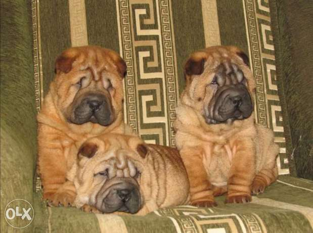 Sharpei Puppies imported from Ukraine