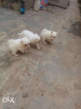 12weeks Samoyed puppies Samoyed female left Ikotun - image 3