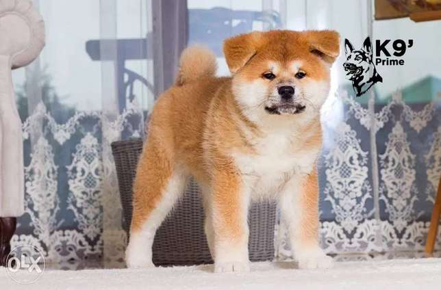 Imported Japanese Akita Inu Puppies Available for sale