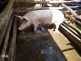 Pigs for sale. Boar, kitengela