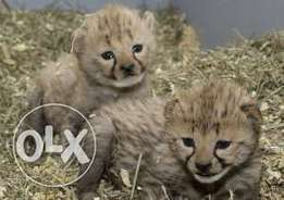 cheetah tiger white lion leopard cubs available