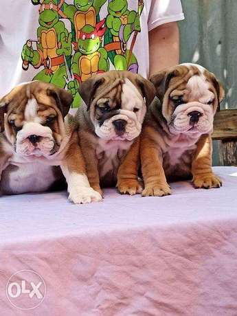 """the most Amazing Imported English Bulldog puppies """"Top Quality"""""""