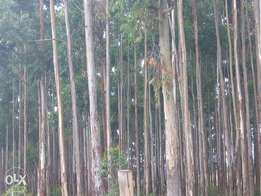 selling bluegum trees(over 2000 pieces)
