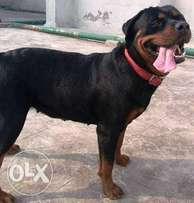 Pure rottweiler for sale