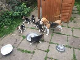 Stunning Tri colour Beagle puppies for sale