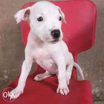 top quality pitbull puppies for sale