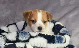 Imported jack Russell puppies from best kennels in Europe
