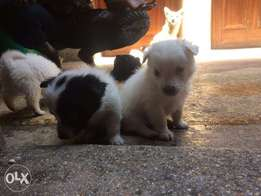 Male Japanese spitz breed puppies