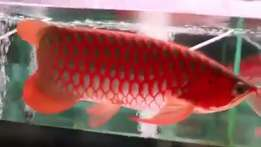 Bloody Red Arowana Fish on Sales