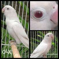 Albino Fischer lovebirds