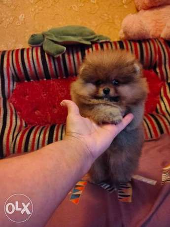 Best Price Imported Teacup Pomeranian From Europe