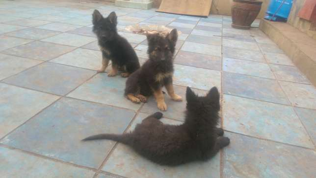 German shephard puppies for sale Roysambu - image 2