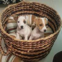 Jack Russell pups.