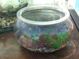 Small round Fish Tank with 2 Fishies