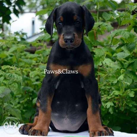 Doberman . I will send more photos of the video.