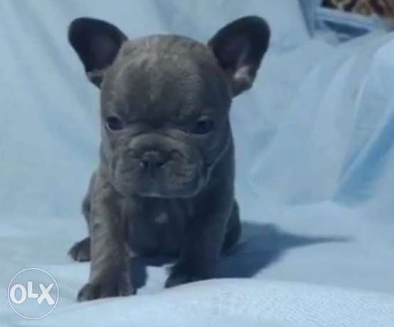 BEST imported blue French Bulldog puppies with all documents.. مدينة الرحاب -  2