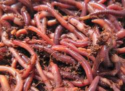 Red worms best worm for composting