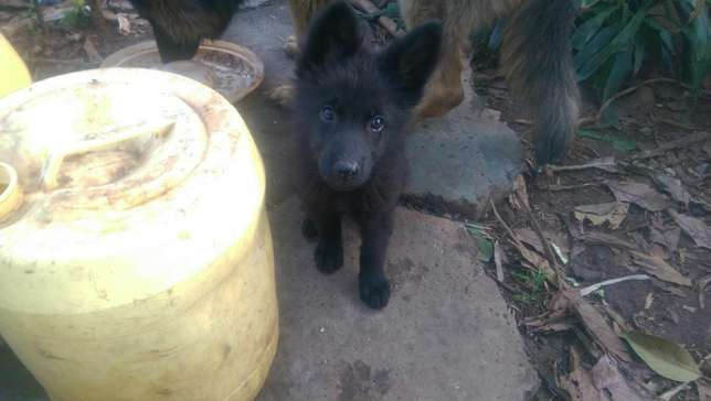 German shephard puppies for sale Roysambu - image 8