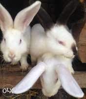 Quality grade rabbits(Dorep)for quick sale