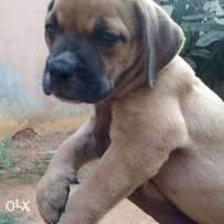Boarbull puppies available