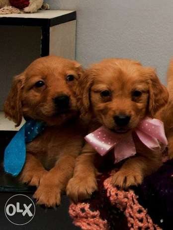 Champion Bloodline Golden Retriever pure Puppy's Available last two
