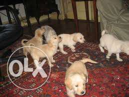 gorgeous thorough bred pedigree golden Labrador puppies