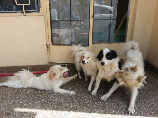 QUICK SALE one year old Japanese Spitz Hurlingham - image 2