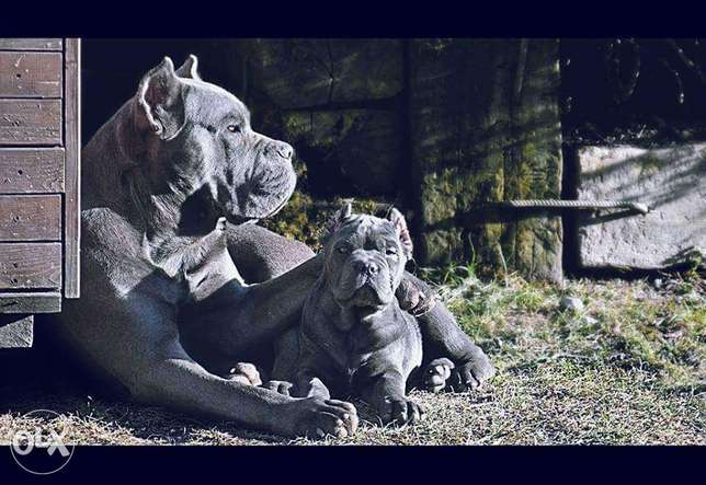 Cane Corso blue puppies