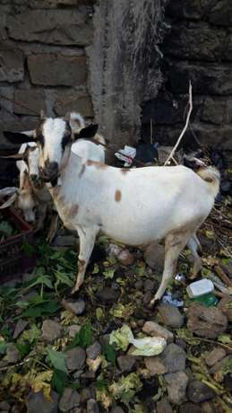 Christmas goats on offer -3 in number priced together Mwiki - image 2