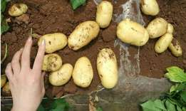 Sell New Crop Potato