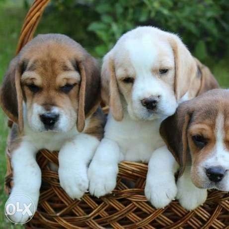 Beagle puppies with documents from breed producers