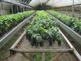 Coffee Seedlings Available. On Sale
