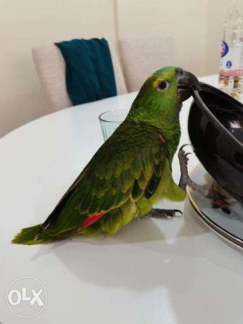 Approximate 5 months old Blue fronted Amazon Parrot with Cage.