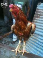 Original, very strong & quality KUCHI cock for sale at 8k negotiable.